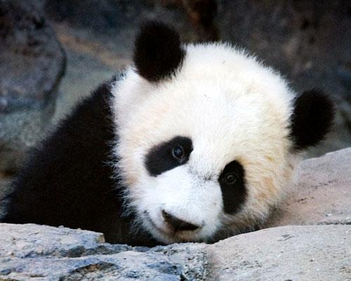Panda che ripensa a quel momento