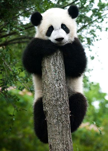 Panda che non si ricorda più perché è salito fin lì