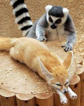 Questo lemure sta per fare qualcosa a questa volpe del deserto. Cosa?