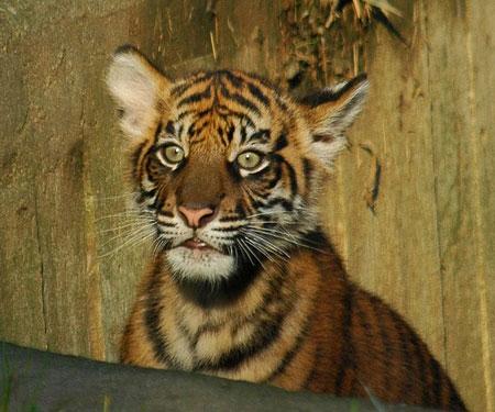 Tigre che ci resta di sasso