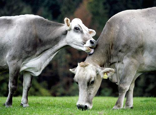 Mucca che si stancando di mangiare sempre le stesse cose