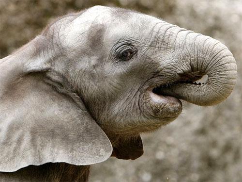 Elefantino insicuro