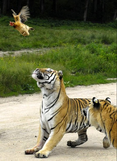 Pollo che in certi casi riesce a volare
