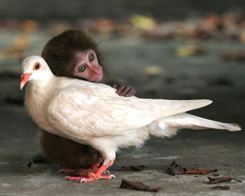 Macaco che pensa al passato e colomba che pensa al futuro