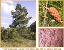 pinus halepensis -pino carrasco-