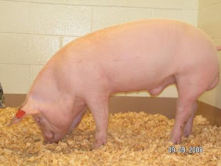 Pig born with cystic fibrosis. Credit: University of Missouri