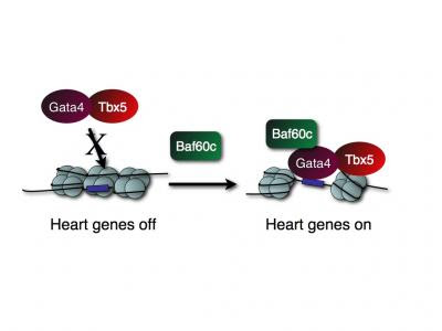 Cardiogenic factors that turn on heart genes.