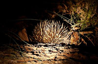 An echidna is a monotreme. Credit: Kateryna Makova, Penn State.