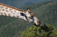 A giraffe is a eutherian mammal. Credit: Kateryna Makova, Penn State.