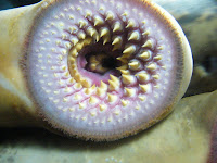 Mouth of a Sea lamprey, Petromyzon marinus.