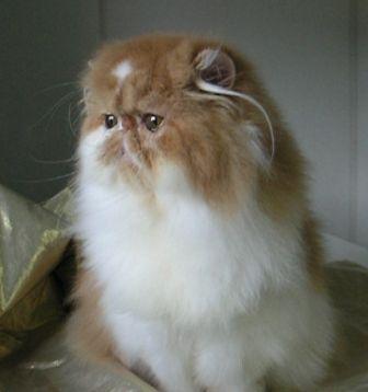 Makanan Kucing Parsi Foto Kucing