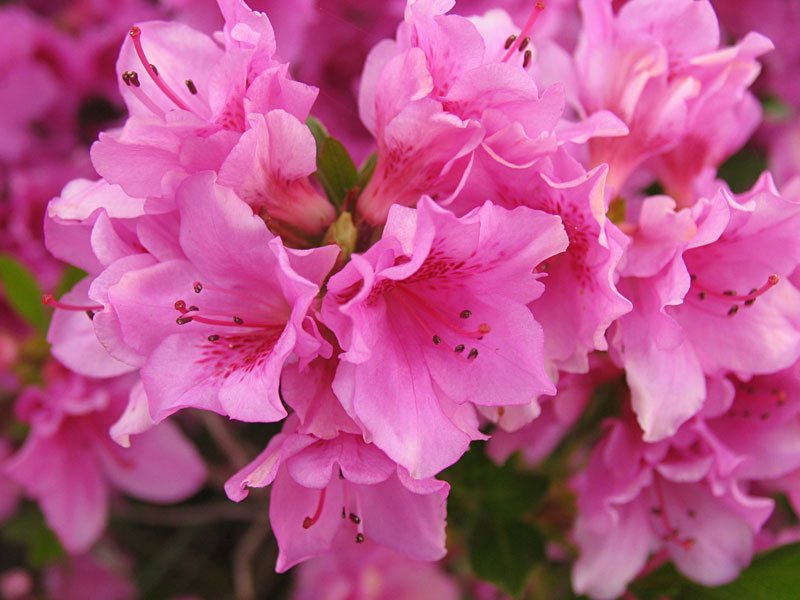 The pink azalea bush is flowering probably the best it ever has since