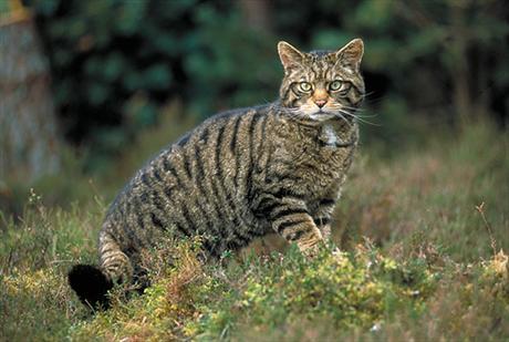 [Image: wildcat.jpg]