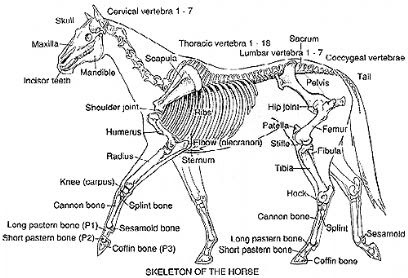 how to care for horses  labelled diagram of a horse