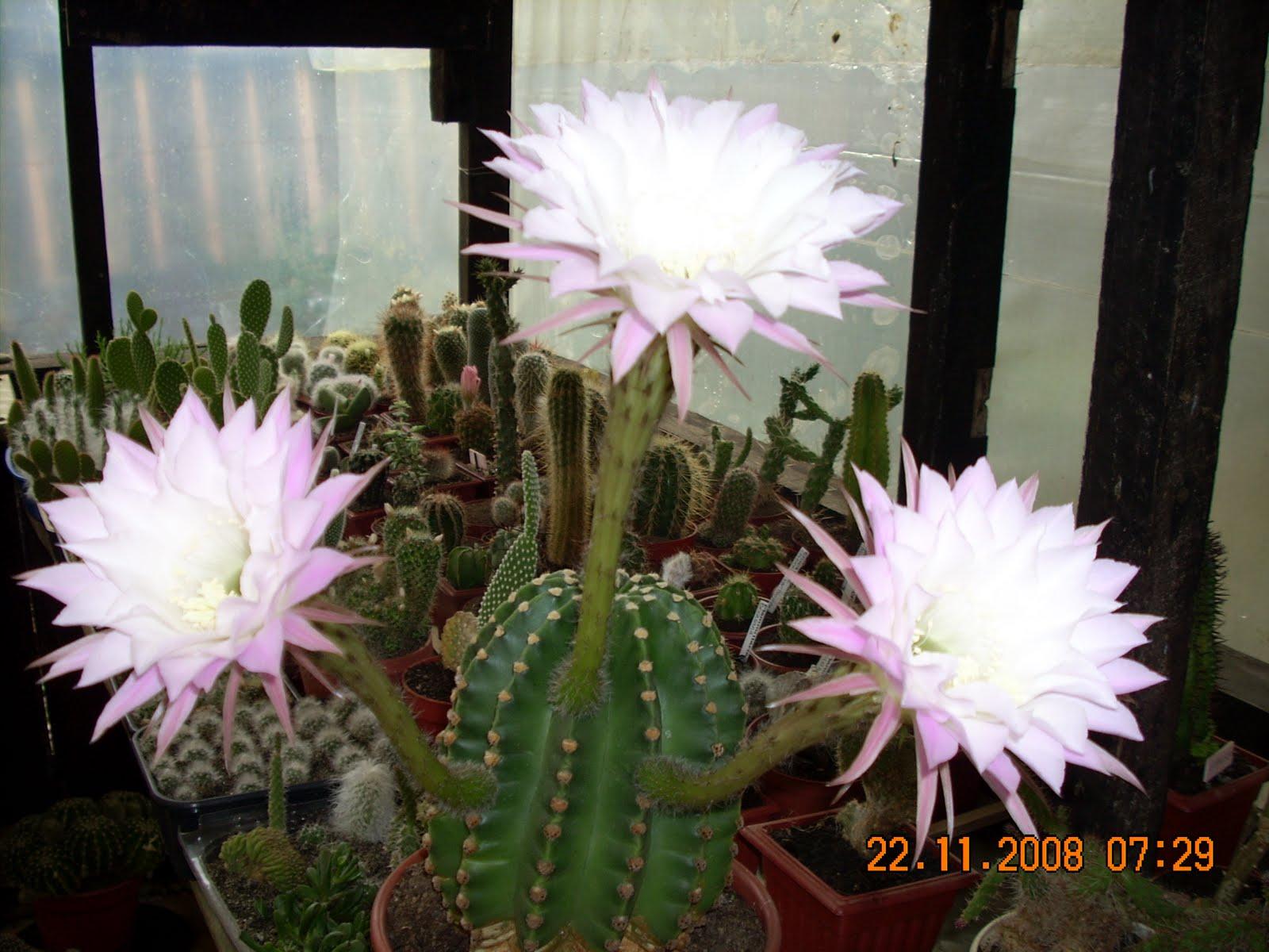 Vivero sanssouci propiedades de los cactus for Vivero de cactus