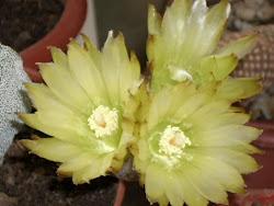 Flores de Astrophytum Myriostigma