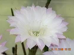 Flor de Echinopsis