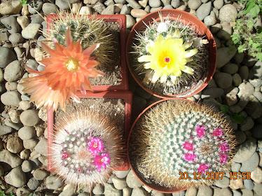 Floración estival de cactáceas