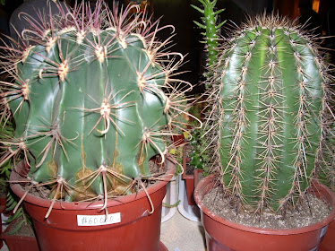 Ferocactus y Echinocereus del vivero