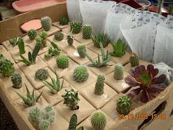Embalaje de cactus para Feria de Frutillar 2010