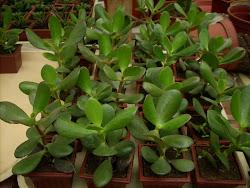 Plántulas Jóvenes de Crássula Arborescens