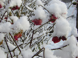 Snow on my roses