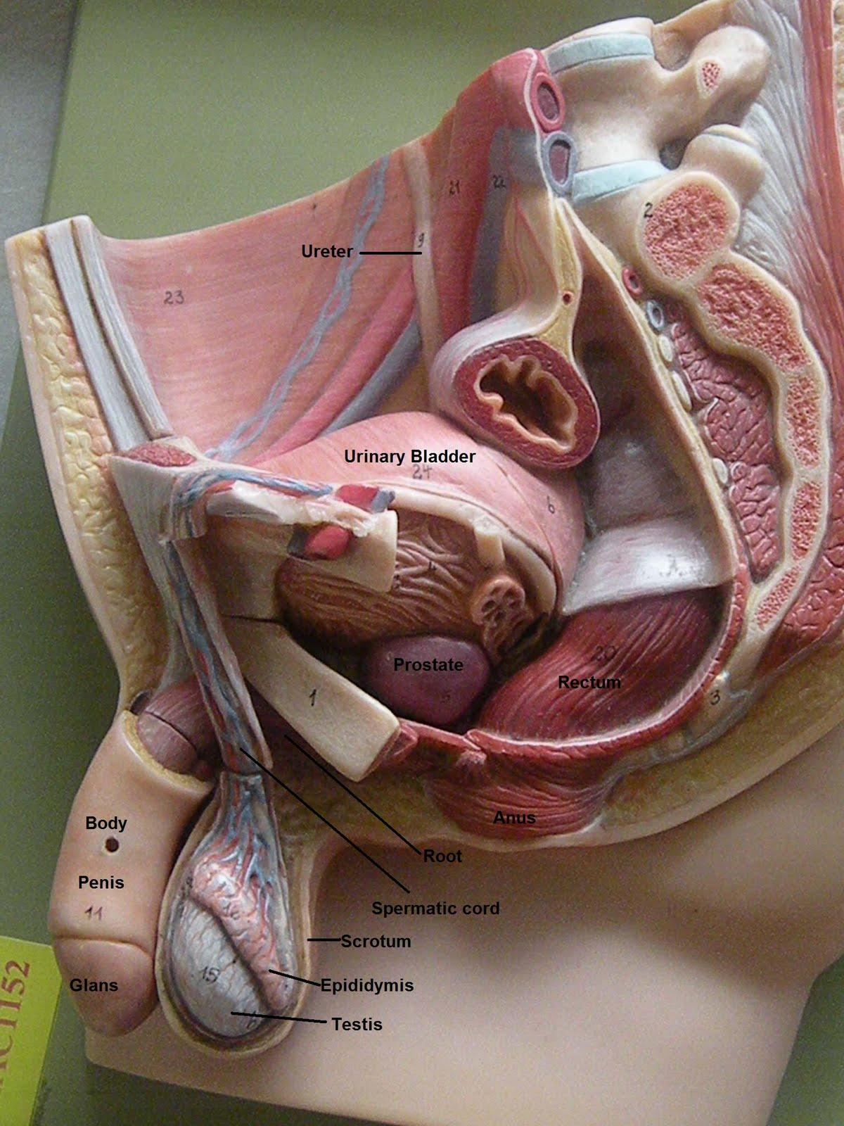 http://2.bp.blogspot.com/_v2mTJ6OoLAo/TPWb-hXko_I/AAAAAAAAAIE/Ck8DSFrzkL4/s1600/Male+Reproductive+System.jpg