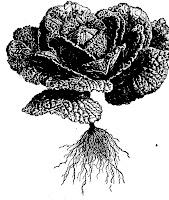 Chou de Milan (Brassica oleracea capitata)