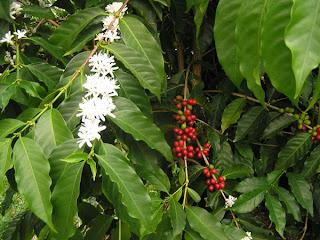 فوائد و اضرار القهوه Blooms.jpg