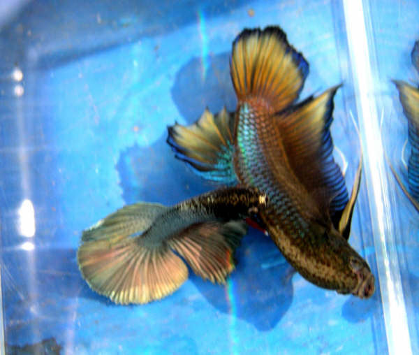 betta fish questions tail types and patterns