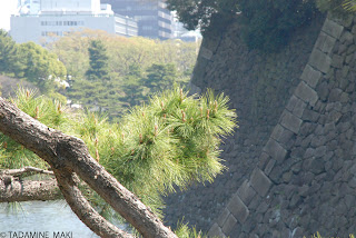 Pine leaves against the wall of the Imperial Palace, near Takebashi, in Tokyo