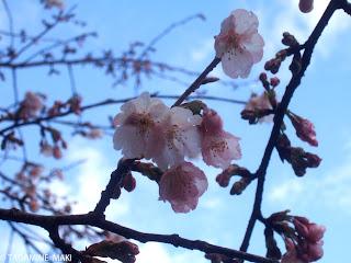 cherry, Tokyo