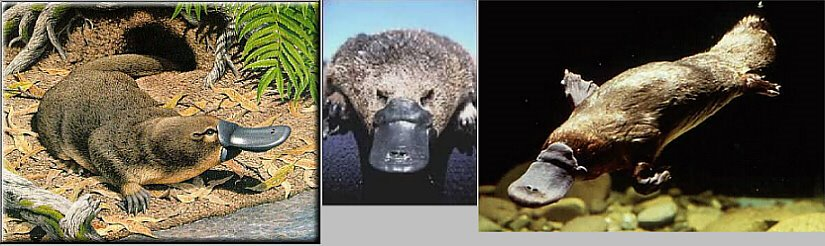 Our proposed Patron Mascot of Anglicanism: The Duck-Billed Platypus