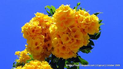 Желтые цветы на фоне неба by TripBY.info