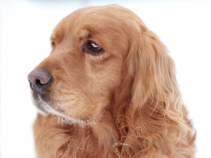AMAZING Golden Cocker Retriever Cogol Dog Facts And