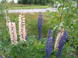 Flore de fjord.