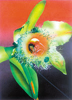 Flor Nacional de Honduras