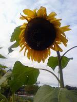 Höstens sista solros på Kolonin