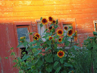 sunflowers and barn