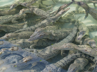 Cuccioli di coccodrillo