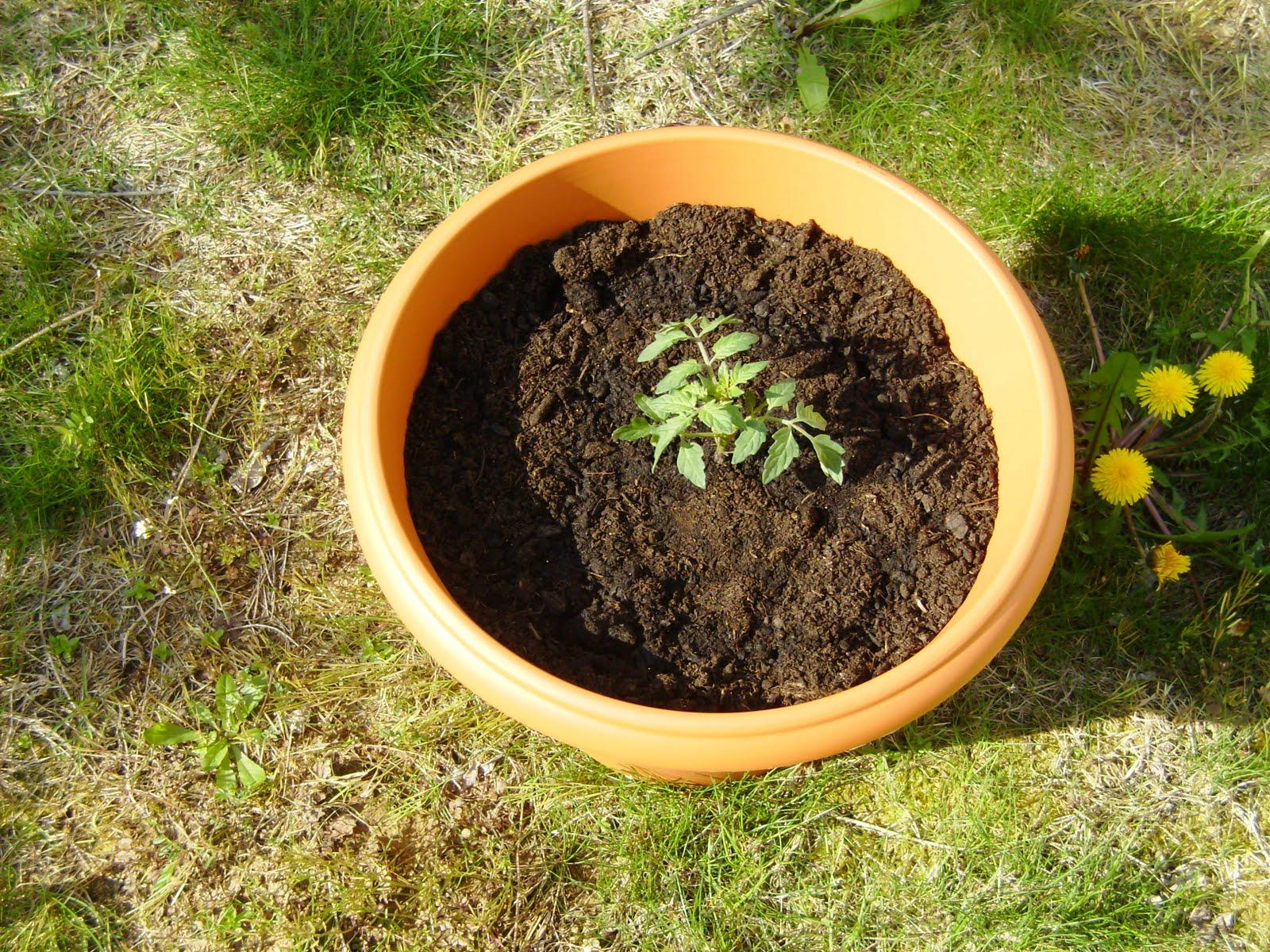 Michele\'s life en franglais: Vegetable garden