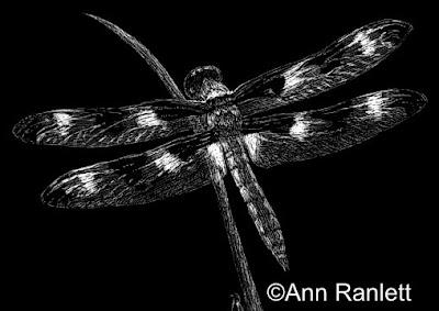 California Dragon - dragonfly scratchboard drawing by Ann Ranlett