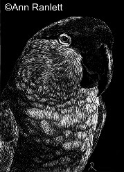 Arizona Native - Thick-Billed Parrot, drawing on scratchboard by Ann Ranlett