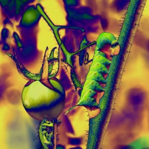 Tomato Worm - reference photo #2