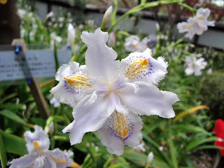 Iris Japonica