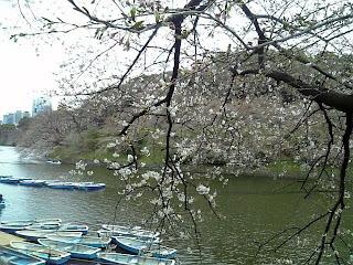 cherry blossoms start blooming at chidorigafuchi