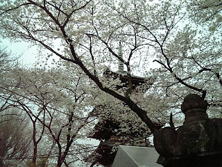 five storied pagoda with cherry blossoms