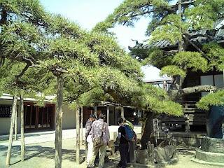 pine tree in Shibamata Taishakuten