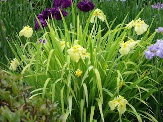 hanashobu irises in horikiri iris garden