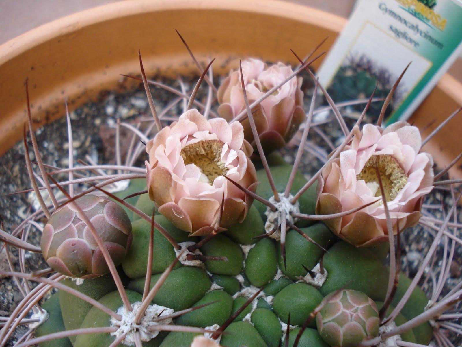 Cactus y suculentas gymnocalycium s for Cactus y suculentas